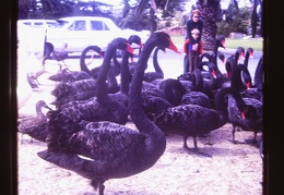 black swans in Perth