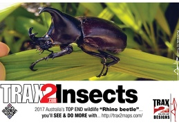 Rhino beetle spotted in Innisfail