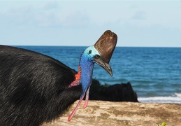 Etty Bay is a beautiful beach for watching cassowaries