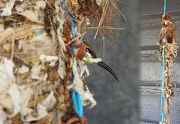 Our yellow bellied sunbirds  nest