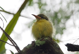 sunbirds baby saved and placed in tree