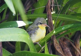sunbirds baby lost in Iris patch