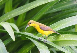 sunbird mother looking for fallen baby
